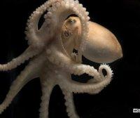 """被科学家称为智力""""第二起源""""章鱼到底有多聪明?"""